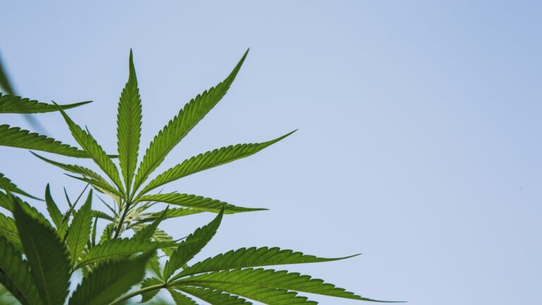 Cannabis plant with sky in the background